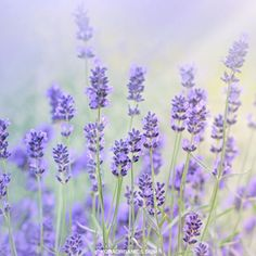 Lavender helps to calm both your skin and your mood! Used as a key ingredient in KORA Organics products, it can also help to detoxify and cleanse your skin with its antibacterial properties. xxx