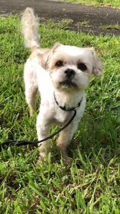 Shih Tzu Rescue | Available Dogs for Adoption Schnoodle Puppy, Biewer Yorkie, Shitzu Puppies, Shih Tzu Puppy, Havanese, Pitbull Terrier Puppies, Bulldog Puppies, Really Cute Puppies, Cute Baby Dogs