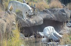 wolves, white wolves, animals, wolf, animal