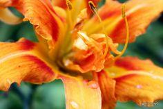 Water drops on fire flowers. Photo Challenge Week One