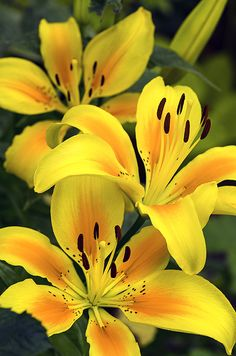 #Good morning my friends. Enjoy these lovely yellow orange Lilies. Don't forget to smile. Be happy!