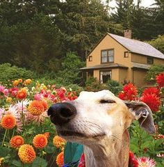 *sniff* * sniff* Greyhound in flowers I Love Dogs, Cute Dogs, Lurcher, Grey Hound Dog, Whippets, Italian Greyhound, My Animal, Beautiful Dogs, Beautiful Places
