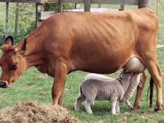 Photo: Little Brown, a Jersey cow, nurses two newborn lambs in New Zealand