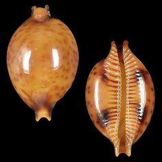 Cypraea sphaeridium