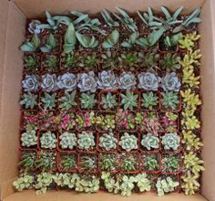 """Potted 2"""" orders. TheSucculentSource"""