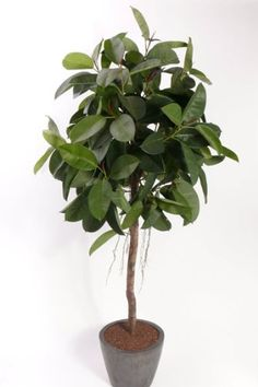 Artificial Rubber Tree standing at 5ft high, very lifelike fake plant.