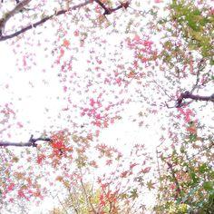 目の前の紅葉は割りと紅くなってきました #箕面 #日本茶カフェ #日本茶バー #Minoo #Matcha #日本酒 #箕面瀧道 #抹茶 #緑茶 #CHAnoMA #箕面ビール