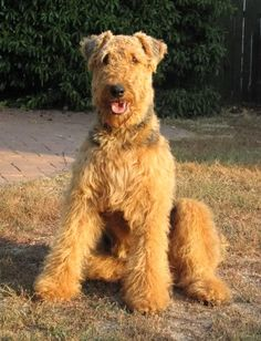 airedale terrier one AWSOME dog Terrier Airedale, Chien Fox Terrier, Terrier Dogs, Chihuahua Dogs, Dogs And Puppies, Doggies, Large Dog Breeds, West Highland Terrier, Wild Dogs