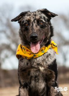 Meet Atwood a Petfinder adoptable Catahoula Leopard Dog Dog | Madill, OK | Atwood is a very friendly dog. He walks on leash an obey most commands. He is living in a kennel...