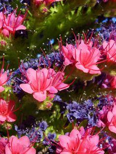 Blómaeyjan Tenerife.  Flores del Tajinaste Tenerife