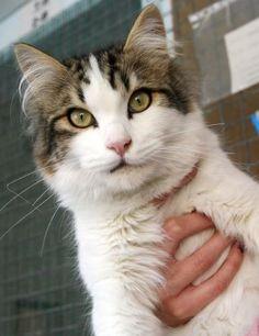 AGAMENON - Gato adoptado - AsoKa el Grande
