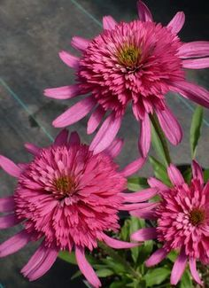 Echinacea 'Southern Belle' Coneflower