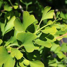 GINKGO i gruppen Krydd- och Medicinalväxter / Medicinalväxt hos Impecta Fröhandel (4105)
