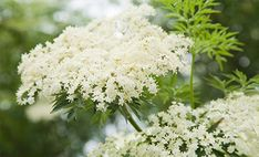 Bezeg – grm s posebno močjo Baby Olivia, Beautiful Flowers, Elves, Butterflies, Gardening, Inspirational, Drinks, Nature, Health And Beauty