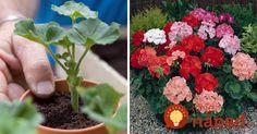 Na rozmnožovanie muškátov je práva teraz ten najvhodnejší čas. Ukážeme vám, ako na to: Growing Plants, Indoor Plants, Gardening Tips, Herbs, Flowers, Diy, Garden Ideas, Windows, Garden