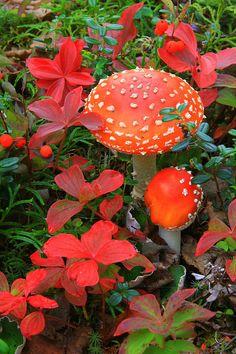 Mushroom Photograph - Fly Aminita by Frank Townsley