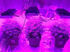 smokeitagainstpain:  tommythc:  Growing with ledlight  High...