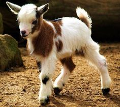 What an adorable goat!
