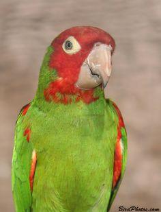 Red-masked Conure (Aritinga erythrogenys)