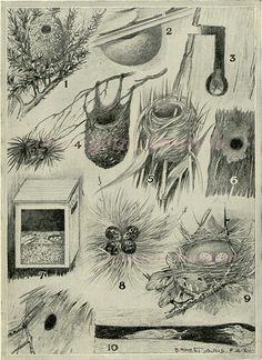Bird Nest Antique Art Print