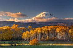 Mount Adams, or Pahto, shining bright with new snow as fickle light danced among the Aspens around the cows on Camas Praire. SE side of Mount Adams near Glenwood, Washington.