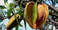 Миндаль польза           Скажите, а вы любите орехи? А миндаль? Я лично очень люблю лесные орехи и миндаль. Только, что выяснила, что минд...