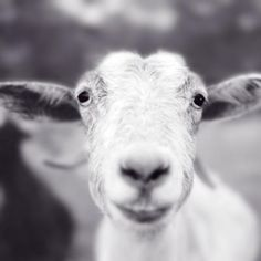 Fine art black and white photography print of a smiling cashmere goat by Allison Trentelman. #artphotography
