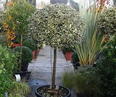 variegated standard holly - Google Search