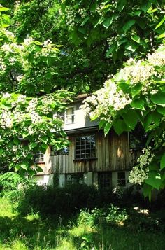 Old Farm House Almost Hidden By Blooming Catalpa Pod Trees