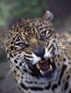 Angry leopard.