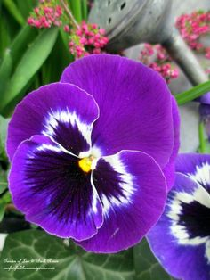 Annual ~ Purple Pansy (Garden of Len & Barb Rosen) I DO BELIEVE HIS HEAD IS TILTED BECAUSE HE'S LISTENING....