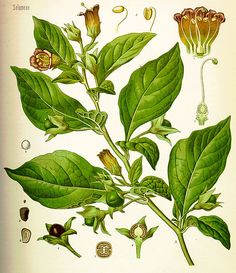 Poisonous Herbs: A List of Poisonous Plants and Their Lore