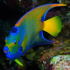 This is my favorite fish to spot in the Caribbean. The colors are absolutely beautiful.