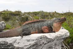 Found only on the Exuma Islands, the Cyclura cychlura figgensi subspecies is listed as Critically Endangered. Photo by: Chuck Knapp