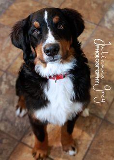 Best dog breed EVER! Bernese Mountain Dog <3