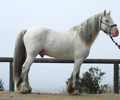 """CS Hermits Silver Shadow-- Bay Few Spot gypsy stallion.  Gypsy horses come in all colors from palomino to appaloosa spotted.  The spots descend from the old oriental lines. He shows only a few spots yet carrying two genes for the spotting trait.To inherit one copy you see the spotting color on the body or roaning blanket. To inherit two causes the genes to """"wipe out"""" the body color so you see a white body with only a few spots."""