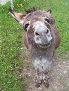 . Donkey Funny, Baby Donkey, Cute Donkey, Mini Donkey, Farm Animals, Animals And Pets, Miniature Donkey, Tier Fotos, Cute Funny Animals