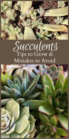 Learn several succulent tips as well as a few mistakes to avoid when experimenting with growing your own echeveria, cacti and more.