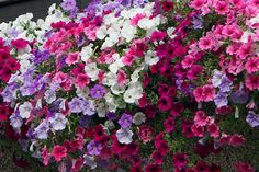 N°23 A gentle assortment of Surfinia petunias in light blue, white, hot pink and purple. For sunny locations.