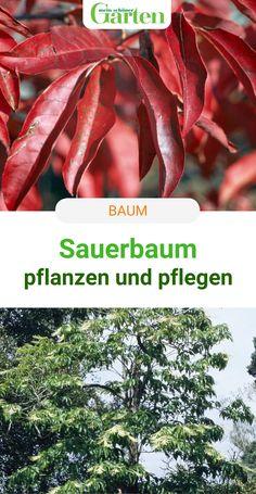 Kennt ihr den Sauerbaum? So pflanzt und pflegt ihr die Gehölzrarität mit den maiglöckchenartigen Blüten und der feurigen Herbstfärbung. #sauerbaum #baum #gehoelz #meinschoenergarten Gras, Garden Plants, Tree Structure, Creative, Nice Asses