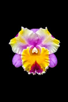 beautiful cattleya orchid , one day maybe i'll be able to keep these things alive