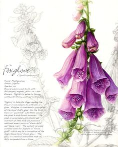 """Foxglove"" by botanical artist Christie Newman http://www.christienewman.com/ Little gloves for the foxes and the fey - Myth & Moor."