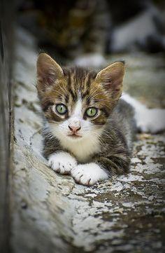 little stray kitten | Flickr: Intercambio de fotos