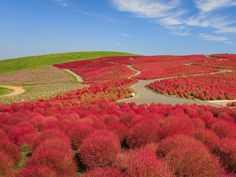 Hitachi Seaside Park is a stretch of flora-packed hills in Japan, and it could easily pass for a whimsical Dr. Seuss landscape. The park is filled with kochia plants that turn bright red during autumn.