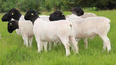 The Dorper is a South African breed of domestic sheep developed by crossing Dorset Horn and the Blackhead Persian sheep.