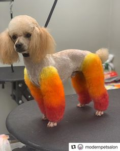Look how amazing colorful hair Luca the poodle had! Done by Modern Pet Salon with OPAWZ Permanent red, yellow and orange❤️ Try the long-lasting bright colors today and create your unique design Dog Grooming Styles, Dog Grooming Shop, Poodle Grooming, Dog Grooming Business, Pet Shop, Dog Hair Dye, Dyed Hair, Equine Photography, Animal Photography