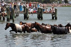 World Famous Pony Swim and Penning on Chincoteague