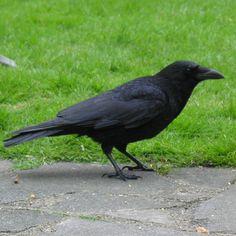 crow4.jpg (768×768)