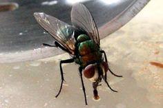 Trucos y remedios caseros para evitar las moscas. Cómo ahuyentar las moscas con trucos simples. Tips para espantar o eliminar las moscas.