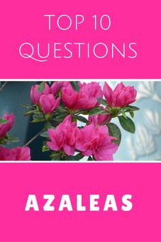 To keep azaleas looking healthy, it's essential that you practice proper care but even then things can still go wrong. That's why Gardening Know How is here to help by providing the best information possible – including answers to allRead this artice Pruning Azaleas, Azaleas Landscaping, Garden Shrubs, Lawn And Garden, Landscaping Ideas, When To Prune Azaleas, Summer Garden, Indoor Garden, Backyard Landscaping